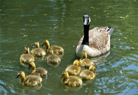 Look at the goslings! They're as cute as Canada herself!